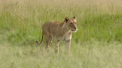 African Lion (Panthera leo) female walking in high grasses, (limping a bit)