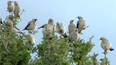 Wattled Starling (Creatophora cinerea) flock in top of tree