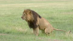 African Lion (Panthera leo)  male urinating and defecating