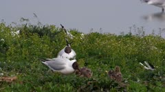 Black-headed Gull (Chroicocephalus ridibundus) nesting, chicks begging for food