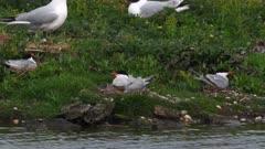 Common Terns (Sterna hiruno) nesting with chicks on nest, beside water edge