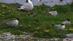 Common Terns (Sterna hiruno) nesting with chick between yellow flowers