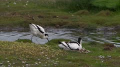 Pied avocet (Recurvirostra avosetta) nesting beside small stream