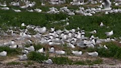 Sandwich Tern (Sterna sandvicensis) colony nesting between pebbles and grasses