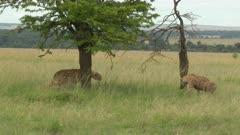 Spotted Hyena (Crocuta crocuta) walks into Cheetah's (Acinonyx jubatus) lying under an Acacia tree