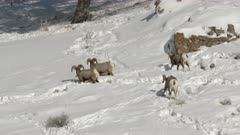 Bighorn sheep (Ovis canadensis) four ram on snowcovered slope, scratching to find food