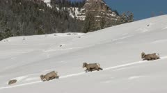 Bighorn sheep (Ovis canadensis) ram on snowcovered slope