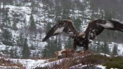 Golden Eagle (Aquila chrysaetos) eating on Red Fox  (Vulpes vulpes) in wintertime