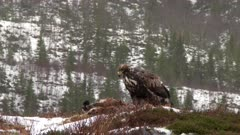 Golden Eagle (Aquila chrysaetos) eating on Red Fox  (Vulpes vulpes) with Eurasian Magpie walking around