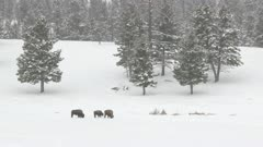 American Bison (Bison bison) mother and calf walking towards other in deep snow while snowing