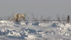 Polar Bear (Ursus maritimus) mother on Tundra, with three months old cub