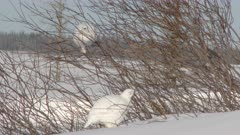 Willow Ptarmigan (Lagopus lagopus) flock on Tundra picking on shrubs on Tundra