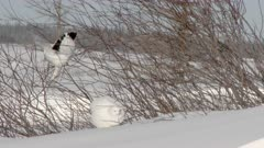 Willow Ptarmigan (Lagopus lagopus) on twigs in shrubs, foraging, on Tundra