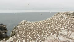 Northern Gannet (Morus bassanus) colony, breeding on cliff overlooking the Ocean, others flying over.