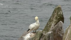Northern Gannet (Morus bassanus) on cliff overlooking the Atlantic Ocean, others flying by