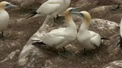 Northern Gannet (Morus bassanus) mating at nesting area on cliff in Atlantic Ocean.