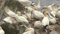 Northern Gannet (Morus bassanus) colony, nesting and displaying.