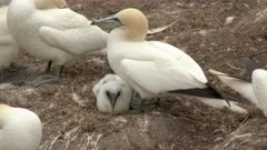 Northern Gannet (Morus bassanus) colony, nesting and watching over chick