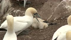 Northern Gannet (Morus bassanus) shaking and picking at dead chick