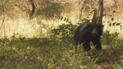 Sloth Bear (Melursus ursinus) in search of insects under a tree in the dry forests of Ranthambhore national park
