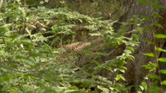Indian leopard (Panthera pardus fusca) eating from kill (Sambar deer ) , hidden away in shrubs
