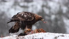 Golden Eagle (Aquila chrysaetos) feeding on Red Fox  (Vulpes vulpes)