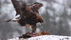 Golden Eagle (Aquila chrysaetos) feeding on Red Fox  (Vulpes vulpes)