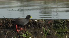 Black Crake (Amaurornis flavirostra) looking for food, on riverdam, water softly streaming