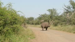 Two White Rhinoceros (Ceratotherium simum) crossing the road in Kruger N.P.