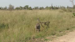 Chacma Baboon (Papio ursinus) group eating grass in Kruger N.P. one female with young on the back.