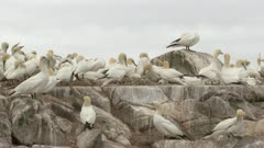 Northern Gannet (Morus bassanus) colony, nesting on cliff, others in flight