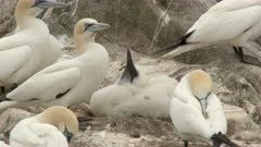 Northern Gannet (Morus bassanus) chick on nest with adult watching