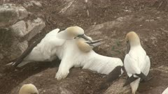 Northern Gannet (Morus bassanus) in fog, couple fighting with intruder of breeding colony.