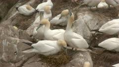 Northern Gannet (Morus bassanus) couple on nest, with egg under feet