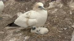 Northern Gannet (Morus bassanus)  chick on nest under parent
