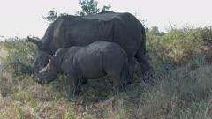 White Rhinoceros (Ceratotherium simum) female with her calf grazing