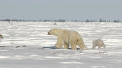 Polar Bear (Ursus maritimus) mother with her tiny three months old cub, beside her.