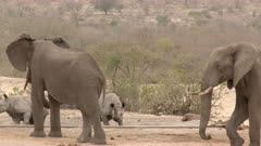 African Elephant (Loxodonta africana) and Black Rhinoceros (Diceros bicornis) together at a dried out waterhole, Elephant being annoyed, warning by shaking head