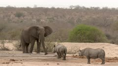 African Elephant (Loxodonta africana) and Black Rhinoceros (Diceros bicornis) together at a dry waterhole, Elephant feeling at the hose.