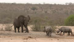 African Elephant (Loxodonta africana) and Black Rhinoceros (Diceros bicornis) together at a dry waterhole
