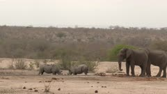 African Elephant (Loxodonta africana) and Black Rhinoceros (Diceros bicornis) together at a dry waterhole, Elephant got scared by fighting Rhino's