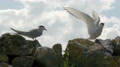 Arctic Tern (Sterna paradisaea) couple standing on rocks communicating at the Farne Isles