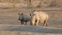 White Rhinoceros (Ceratotherium simum) mother with calf approaching a waterhole