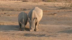 White Rhinoceros (Ceratotherium simum) mother with calf drinking from a waterhole