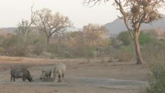 White Rhinoceros (Ceratotherium simum) male and female together grazing