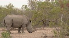 White Rhinoceros (Ceratotherium simum) grazing in dry woodland