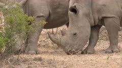 White Rhinoceros (Ceratotherium simum) two males grazing in woodland, close-up