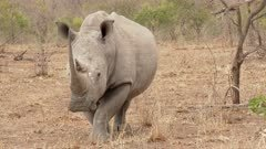 White Rhinoceros (Ceratotherium simum)  male standing and looking at camera