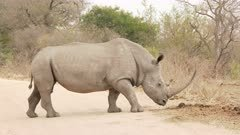 White Rhinoceros (Ceratotherium simum)  male going to his toilet area, smelling at middens, doing his own and kicking his dung