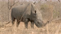 White Rhinoceros (Ceratotherium simum) male grazing , with Oxpecker on his nose, close-up